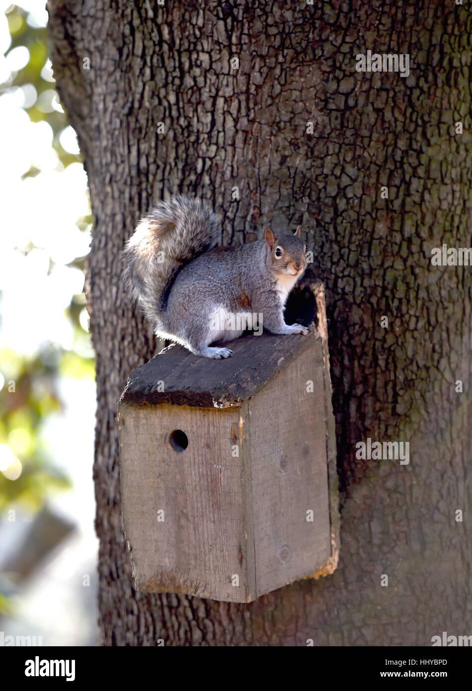 L'écureuil gris Sciurus carolinensis assis sur un nichoir oiseaux jardin dans le Queens Park Brighton Photo Stock