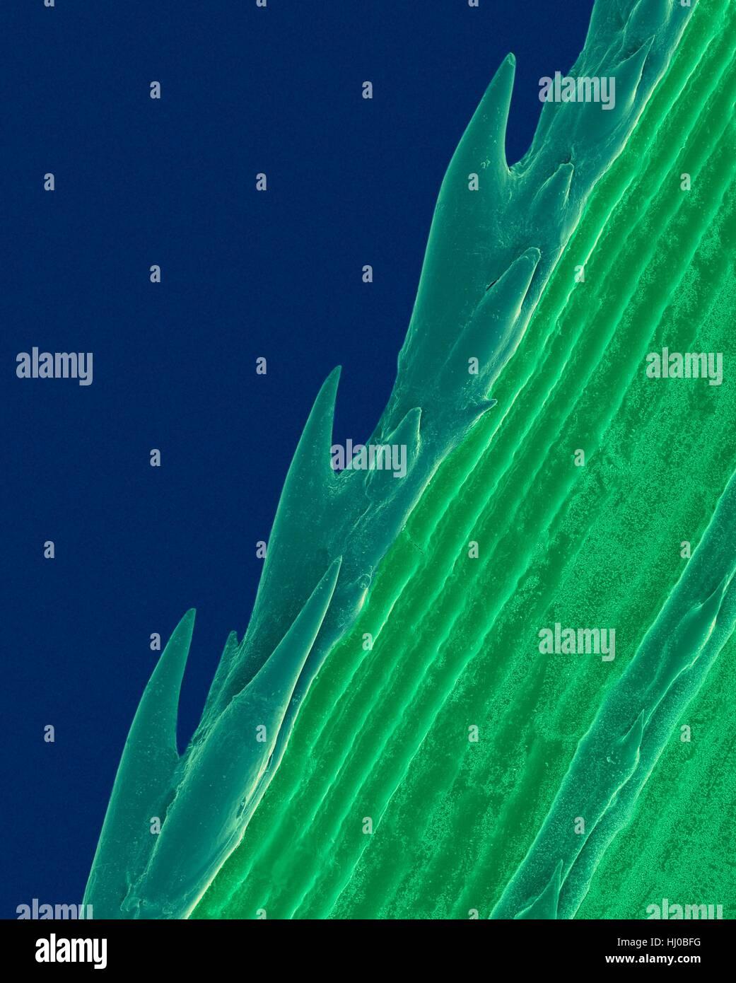 Un brin d'herbe avec bord dentelé (Paspalum sp),couleur de l'analyse des électrons Microphotographie Photo Stock
