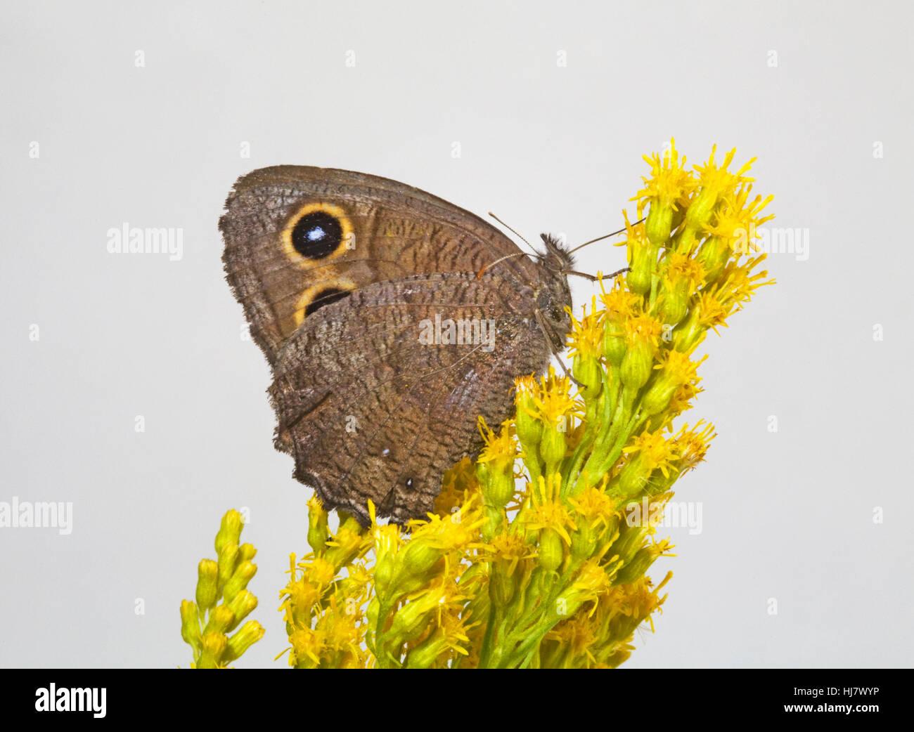 Un bois commun, papillon nymphe Cercyonis pegala, sur une fleur de couleur vive le long de la rivière de l'Oregon Photo Stock