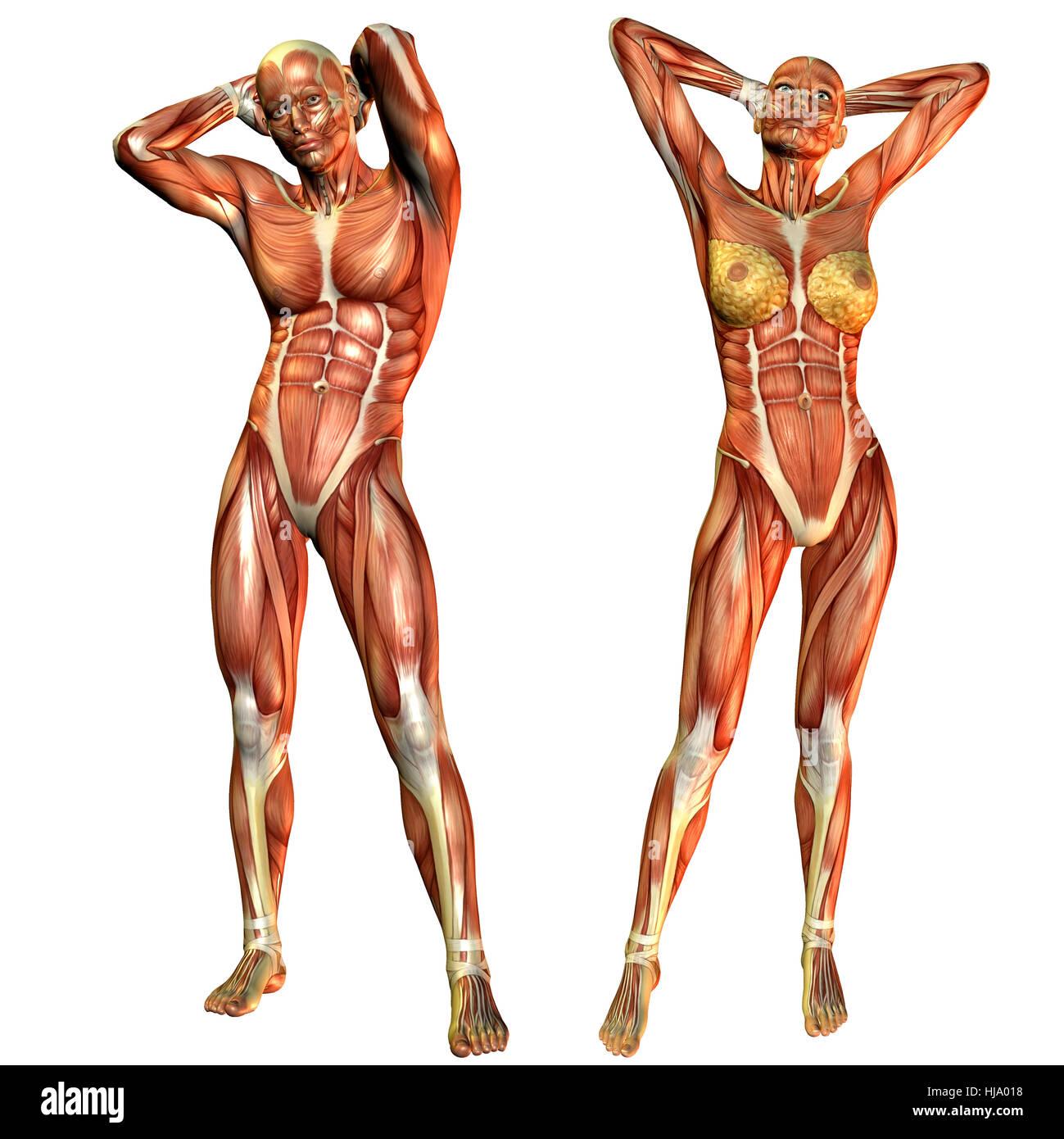 Beste Was Ist Der Zweck Der Muskulatur Zeitgenössisch - Menschliche ...