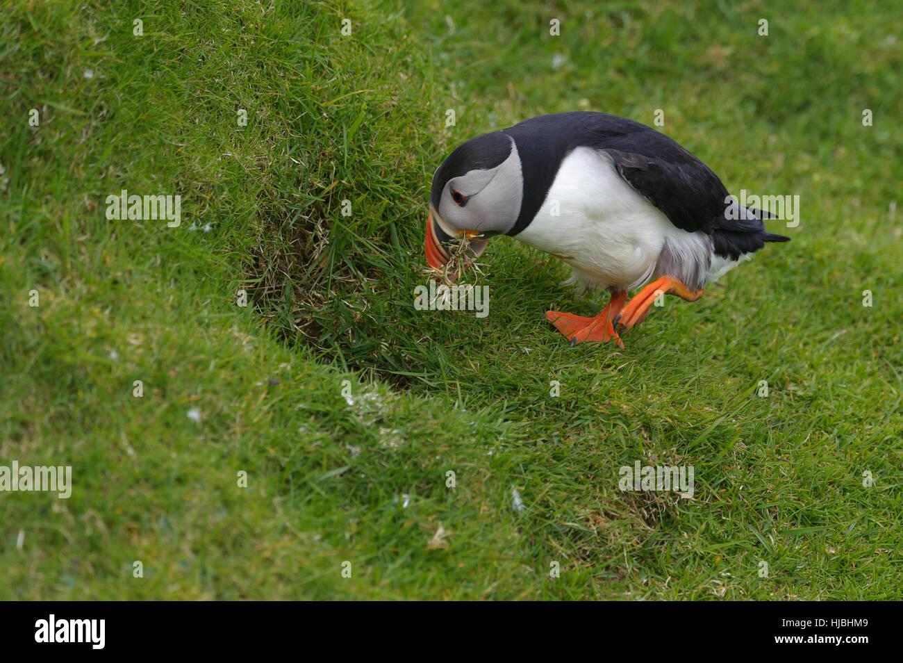 Macareux moine (Fratercula arctica) été prendre adultes matériel de nidification à burrow sur Photo Stock