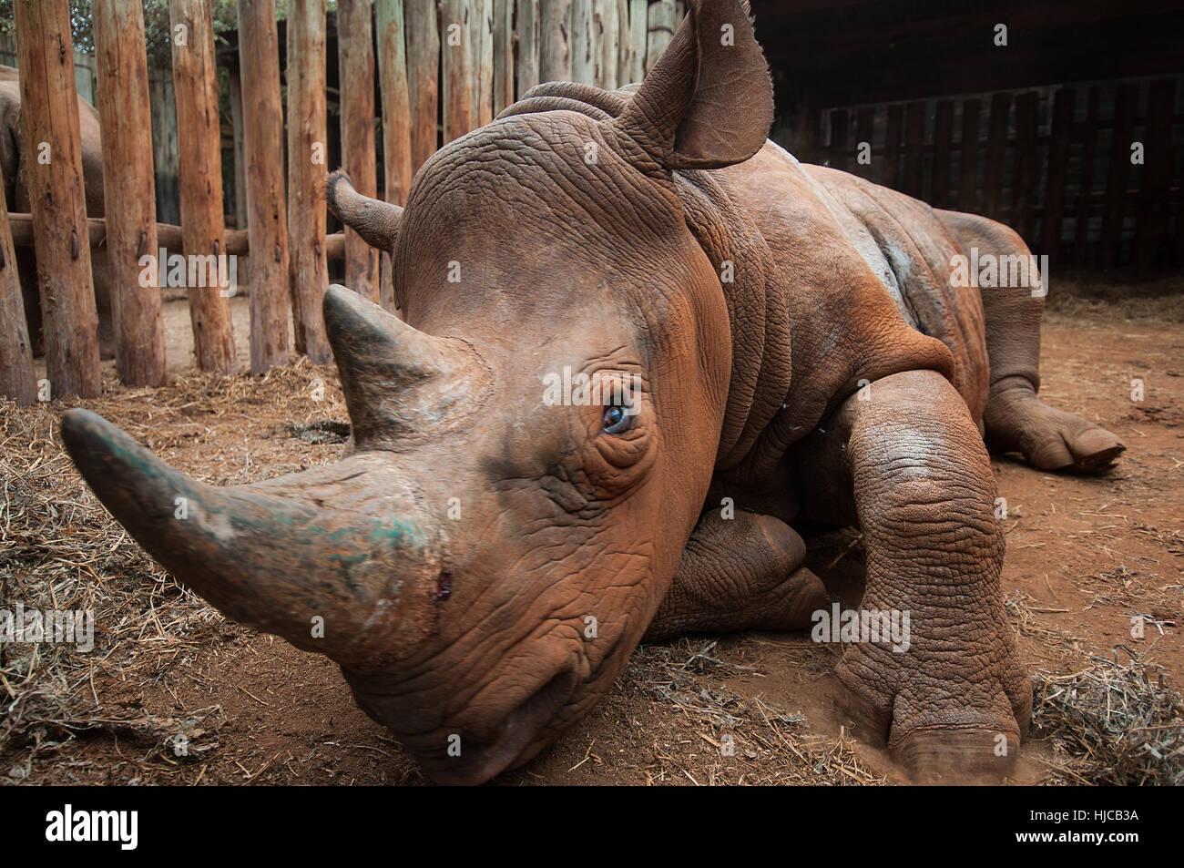 Rhino orphelin dans un abri de secours, Nairobi, Kenya Banque D'Images