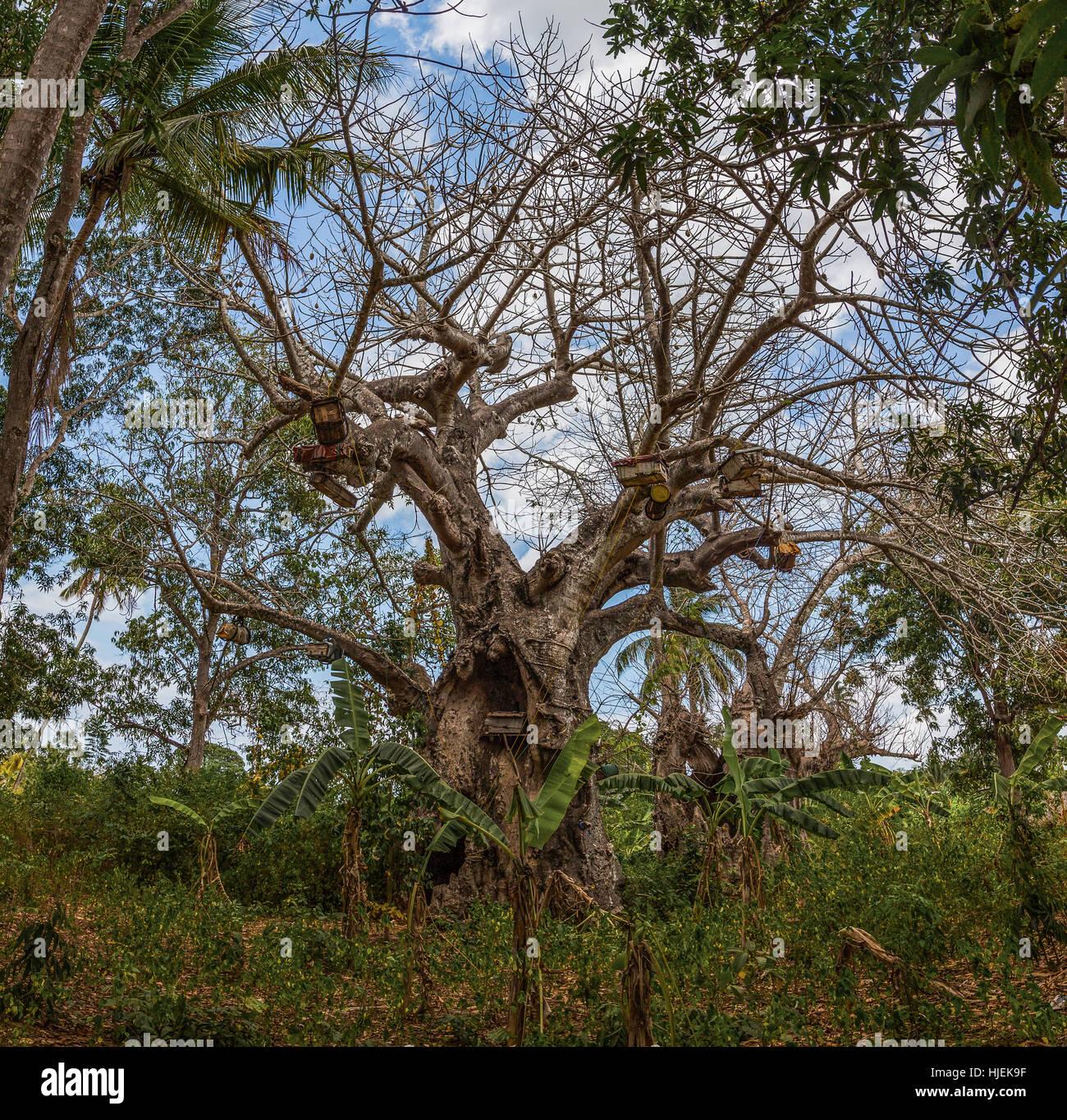 Grand et robuste vivre baobab avec beaucoup de branches, green palms,ciel bleu et nuages blancs à l'arrière Photo Stock