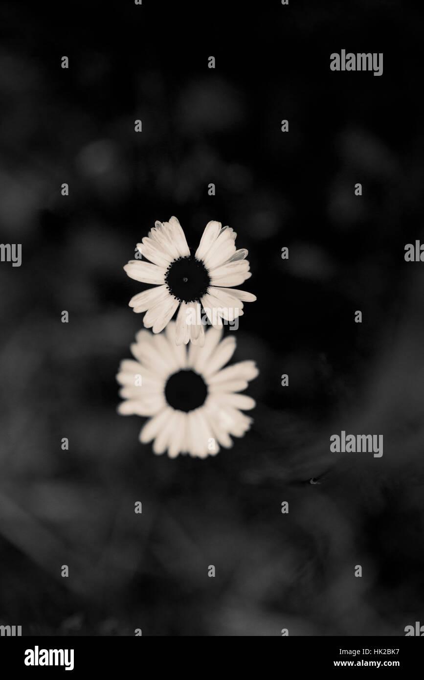 Vue de dessus deux fleurs de jardin. Détail nature noir et blanc. Banque D'Images