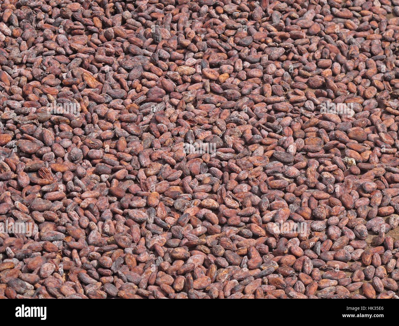 Cacao (Theobroma cacao) haricots séchant au soleil Fond Doux Plantation, St Lucia, Petites Antilles Décembre Photo Stock