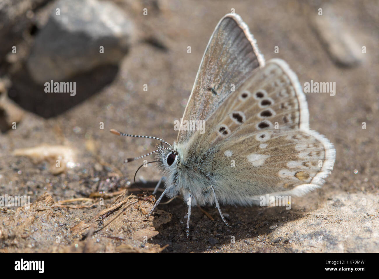 Glandon Blue (Plebejus glandon) papillon se nourrit de minéraux à partir de sols humides Photo Stock
