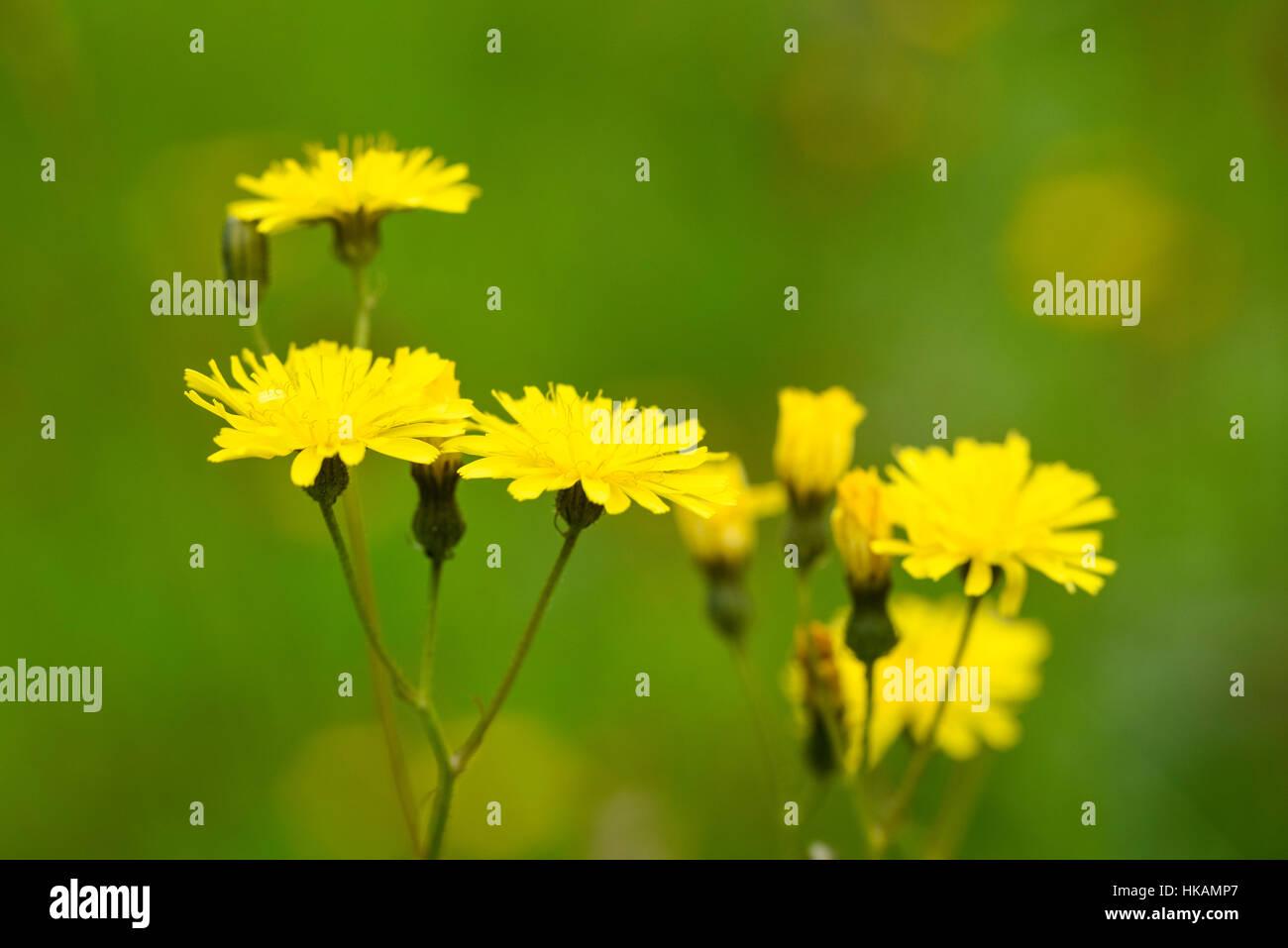 Hawk's Rough-beard, Crepis biennis, wildflower, Dumfries et Galloway, Écosse Photo Stock