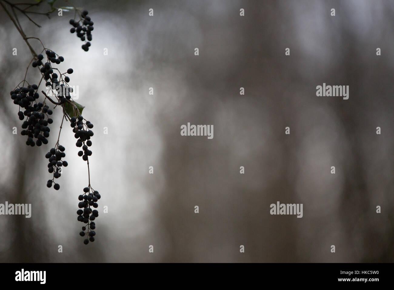 La silhouette de baies accroché sur une morne journée. Photo Stock