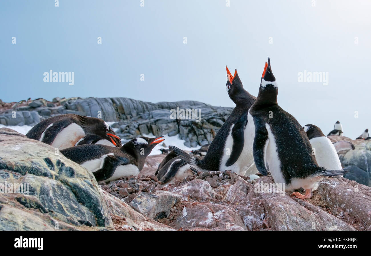 Manchots sur leurs nids faits de cailloux. Un oeuf est visible dans le nid de la paire permanent. Photo Stock