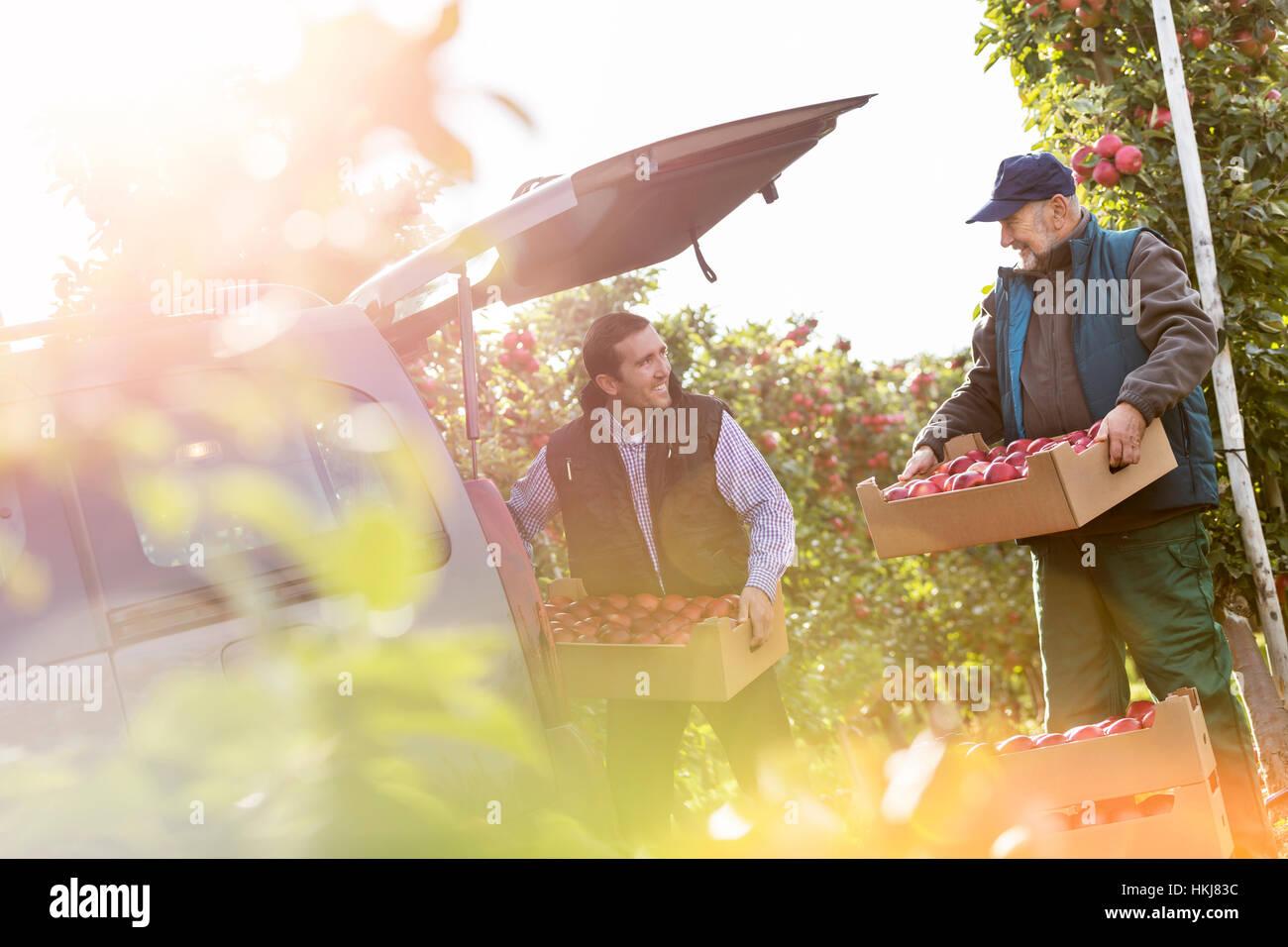 Les agriculteurs de sexe masculin en cours de chargement les pommes en voiture à verger Banque D'Images