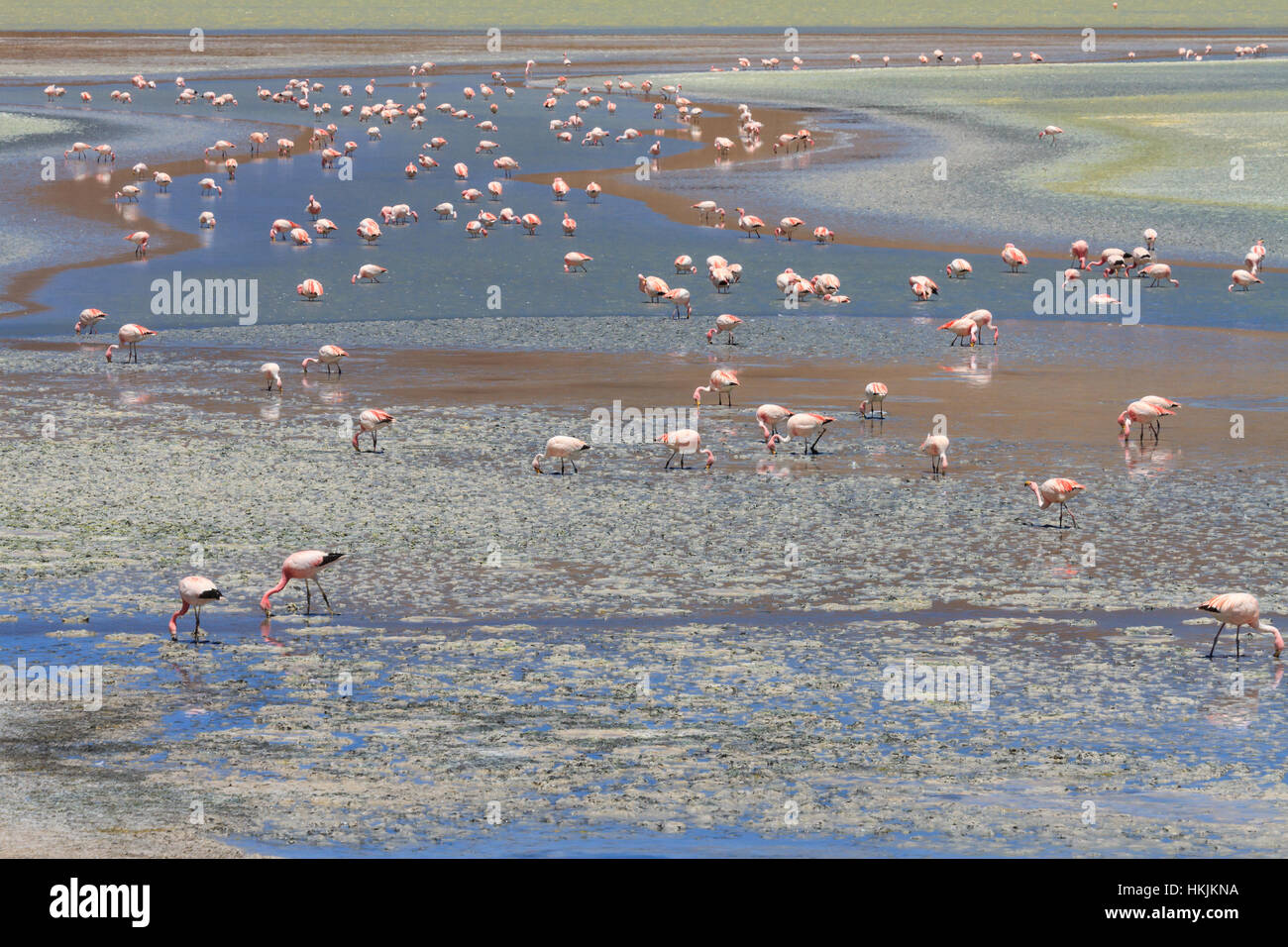 Flamands roses à Laguna Hedionda, Altiplano, Bolivie Photo Stock