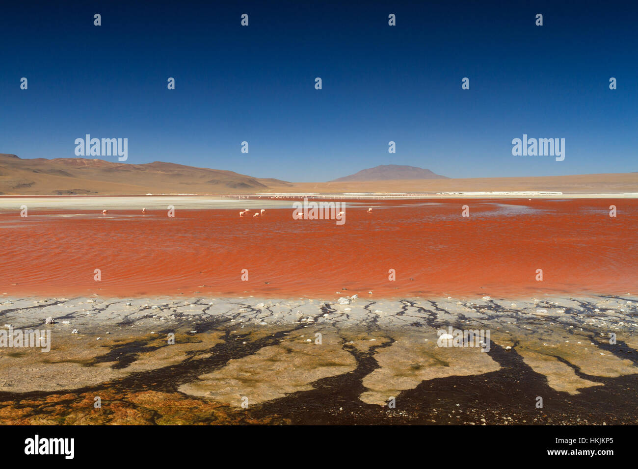 Flamands roses à la Laguna Colorada, Altiplano, Bolivie Photo Stock