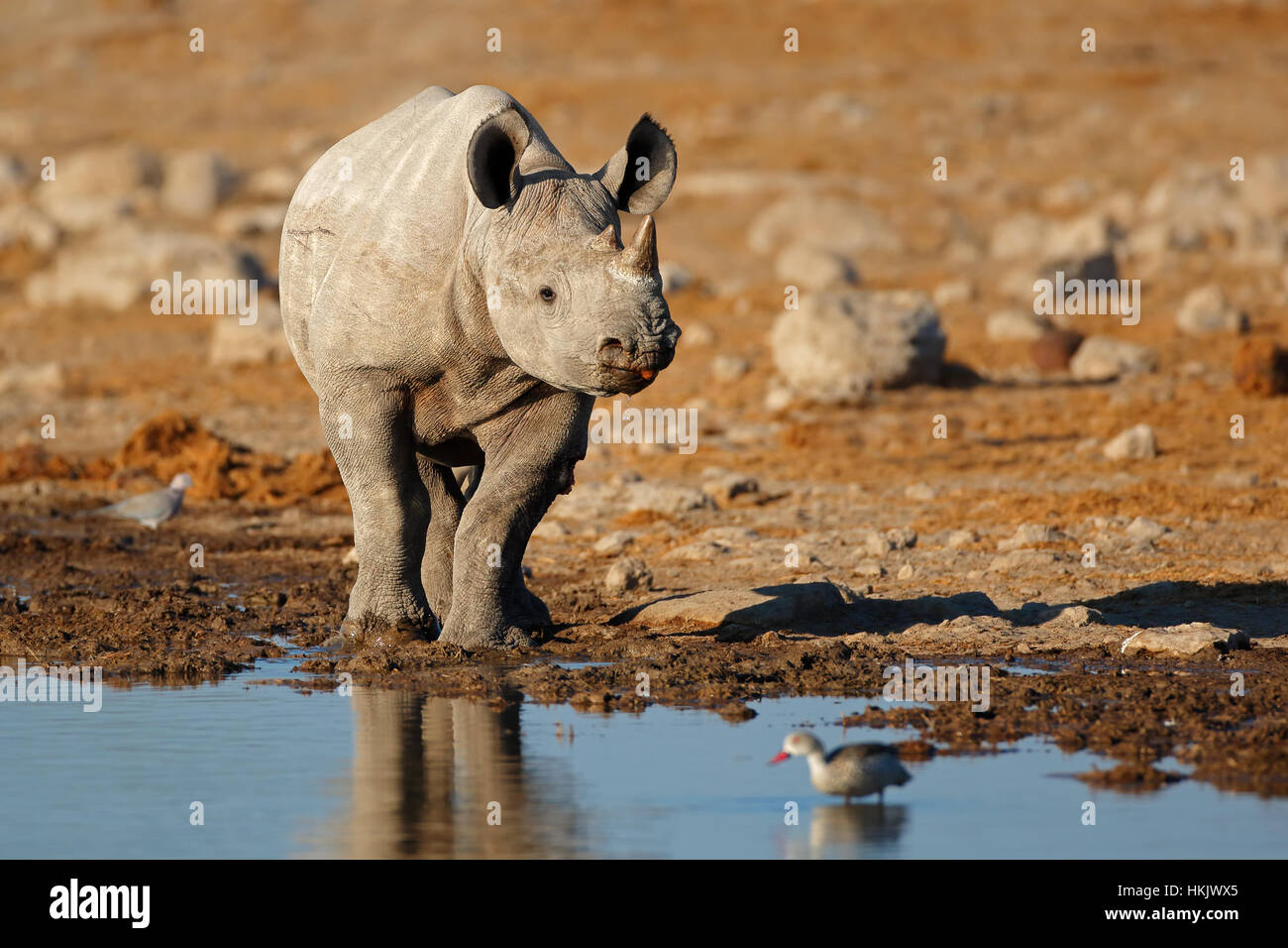 Un rhinocéros noir (Diceros bicornis) à un étang, Etosha National Park, Namibie Photo Stock