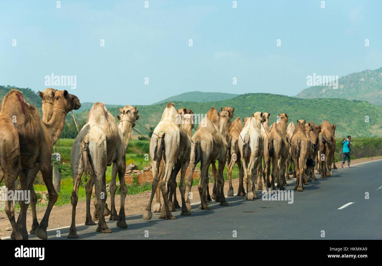 Caravane de chameaux voyageant dans les montagnes du Simien, Ethiopie Banque D'Images