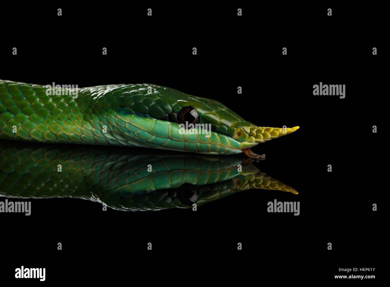 Long nez vert serpent, Couleuvre obscure de rhinocéros Banque D'Images