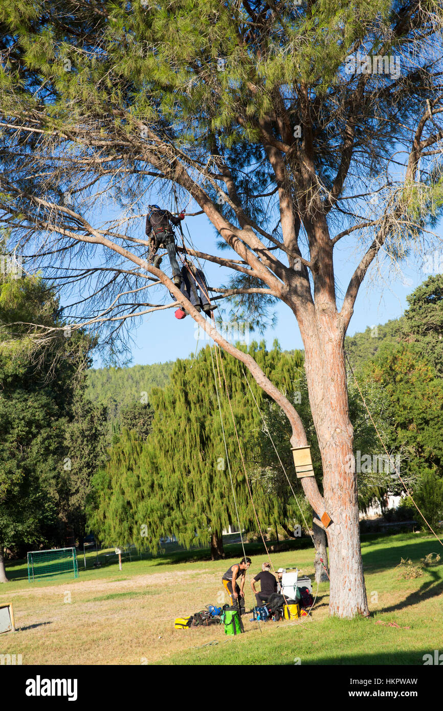 tree surgeon cutting branches photos tree surgeon cutting branches images alamy. Black Bedroom Furniture Sets. Home Design Ideas