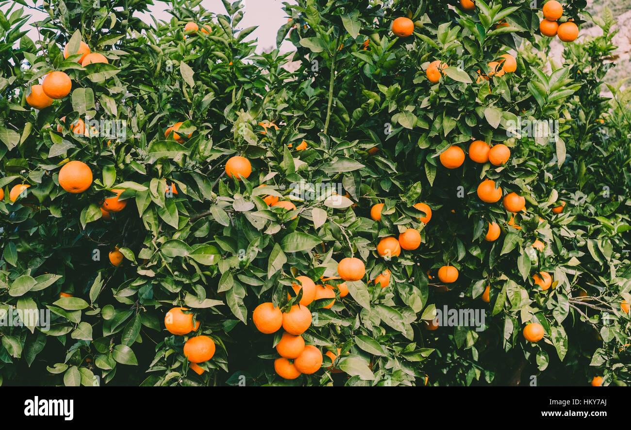Direction générale de l'oranger luxuriante abondance de fruits Photo Stock
