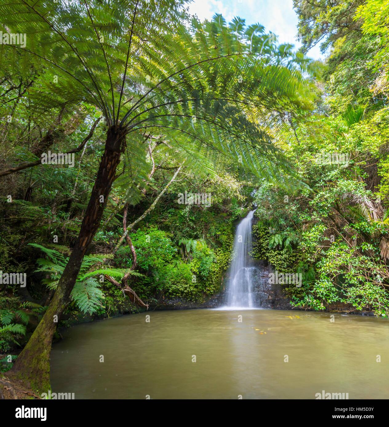 Chute d'eau, fougère arborescente (Cyatheales Omeru), réserver, Northland, North Island, New Zealand Photo Stock