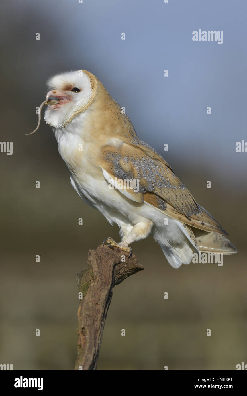 Effraie des clochers - Tyto alba Banque D'Images