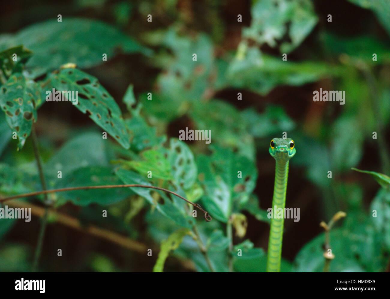 À nez court serpent de vigne (Oxybelis brevirostris), Parc national de Cahuita, Costa Rica, Côte Des Caraïbes Banque D'Images