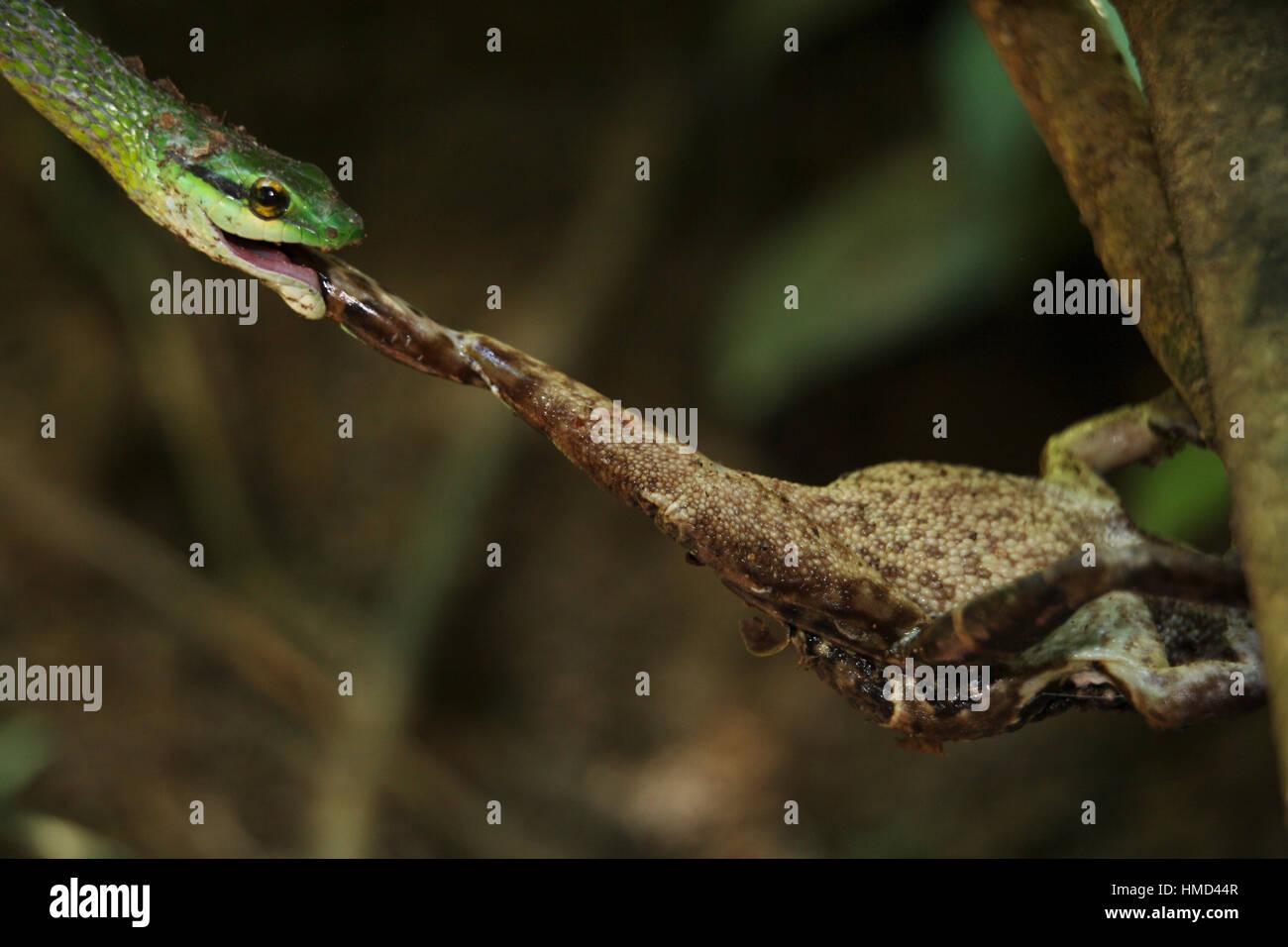 Perroquet vert serpent (Leptophis ahaetulla) prendre une à peau lisse (Bufo) haematiticus sur une rive du fleuve. Photo Stock