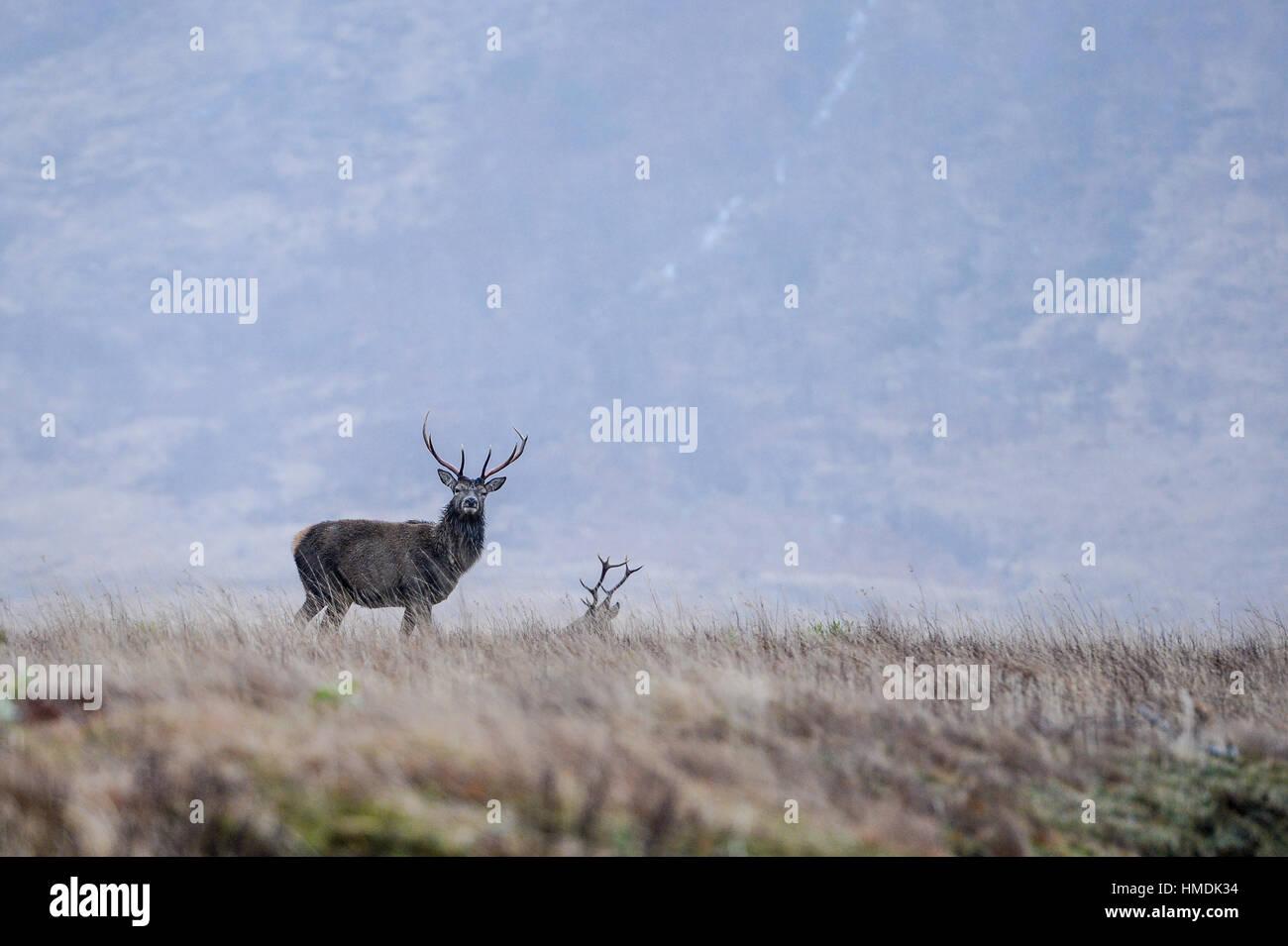 Le monarque de la Glen, un red deer stag monte la garde lors d'une froide journée hivers dans Glen Etive, Photo Stock