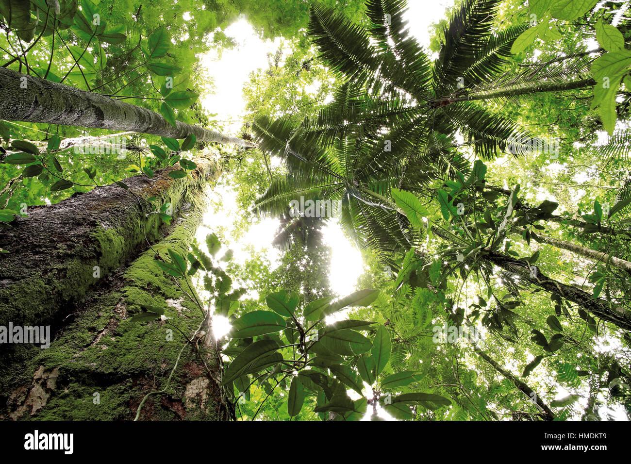 Vue vers le haut pour la canopée de la forêt tropicale de plaine à la Station biologique de La Selva, Photo Stock