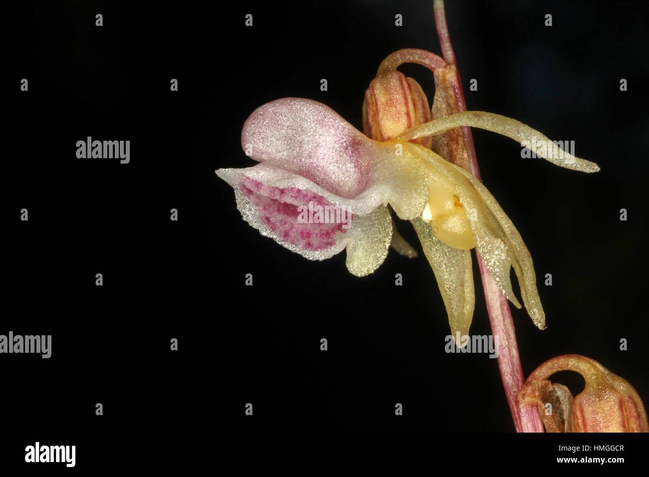 Epipogium aphyllum Ghost Orchid une orchidée sauvage rare dans un sous-bois dense en Bavière, Allemagne Banque D'Images