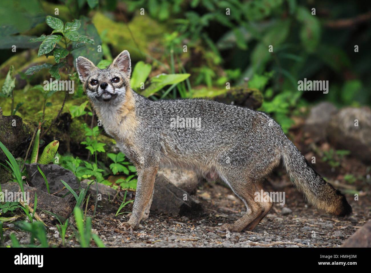 Le renard gris (Urocyon cinereoargenteus) dans la Forêt Nuageuse de Monteverde, Costa Rica préserver. Photo Stock