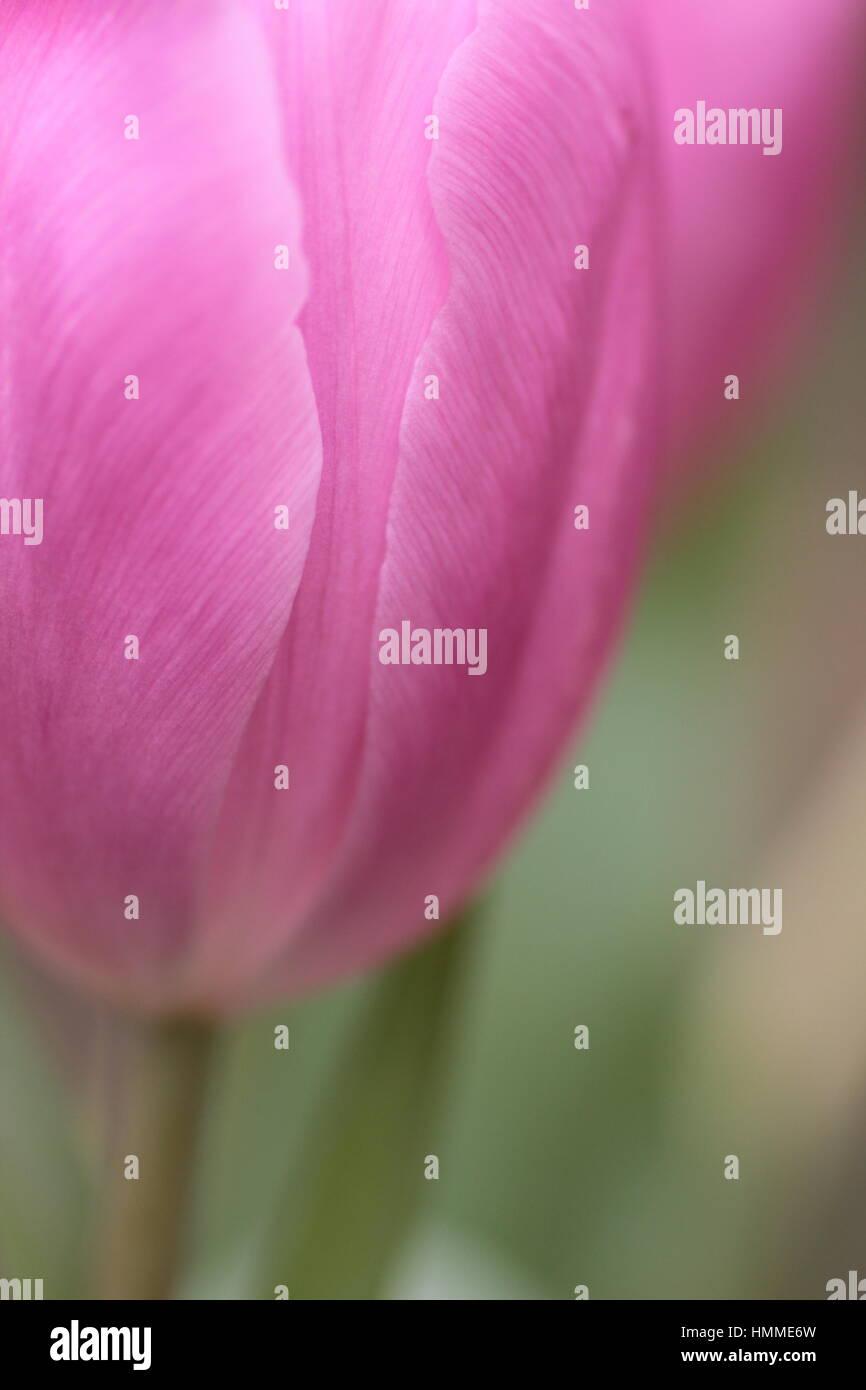 Se concentrer sur peu profondes tulipe rose Photo Stock