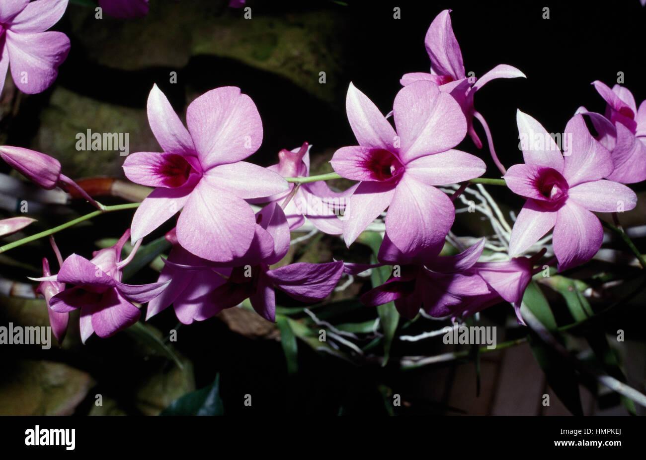 Orchidée Cymbidium bateau (sp), Orchidaceae. Photo Stock