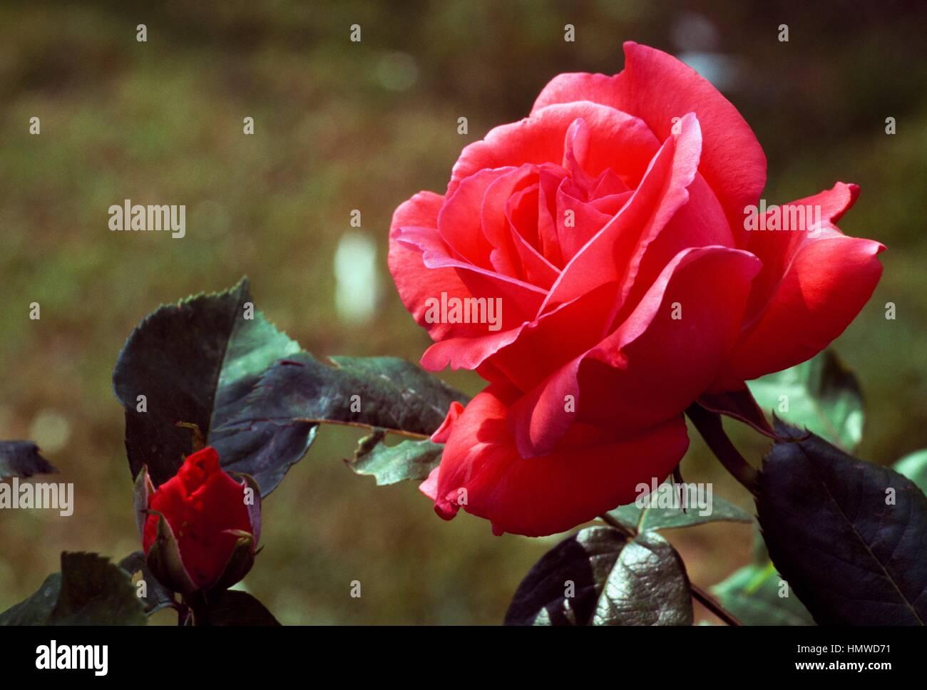 Rose (Rosa Ami Fritz), Rosaceae. Photo Stock