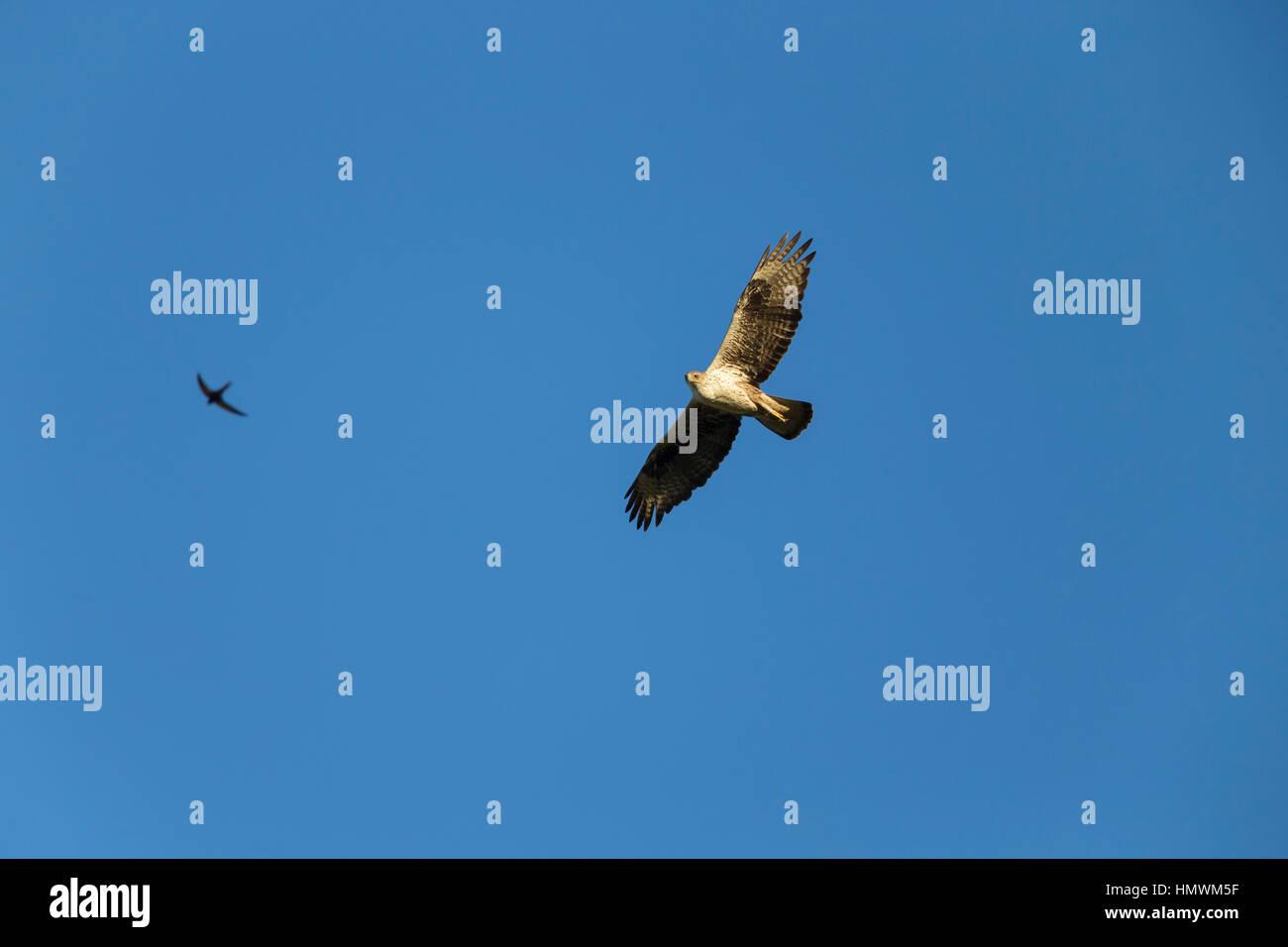 Aigle de Bonelli Aquila fasciata, femelle adulte, en vol sur fond de ciel bleu avec swift Apus apus, commune proche Banque D'Images