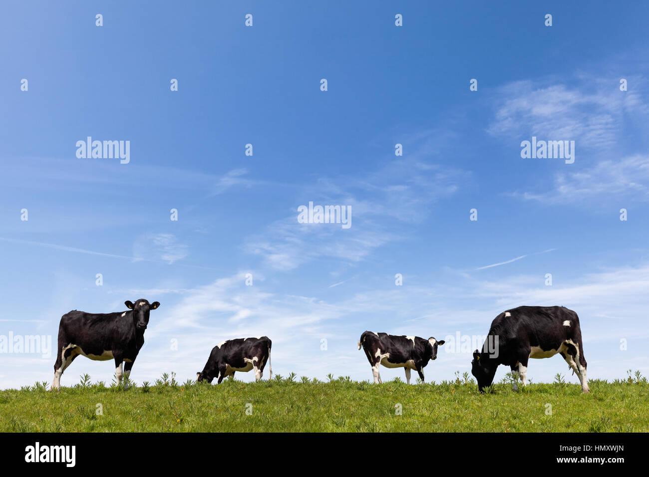 Le pâturage du bétail dans un champ verdoyant dans la journée Photo Stock