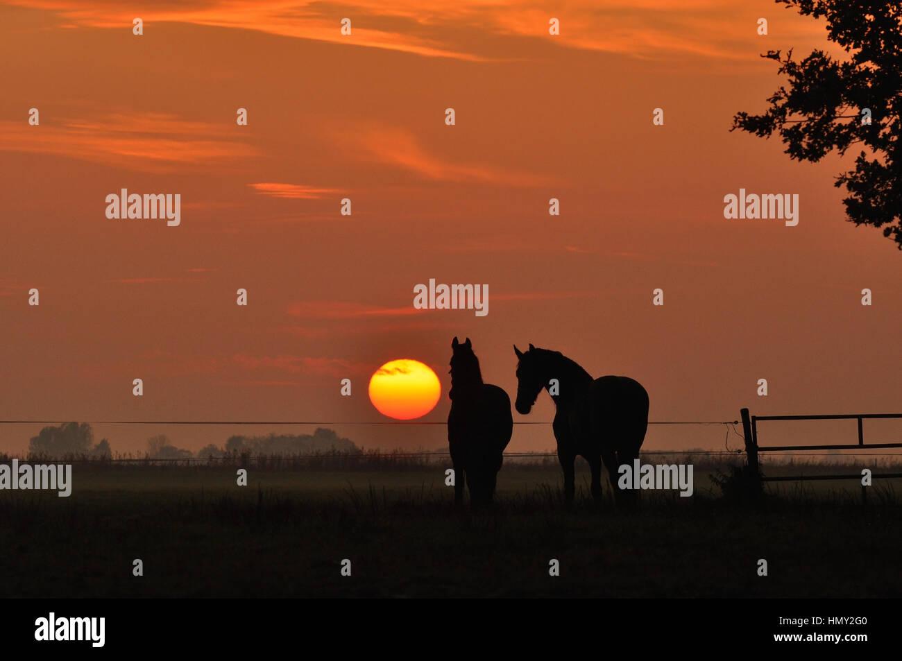 Deux chevaux dans un champ au coucher du soleil Photo Stock