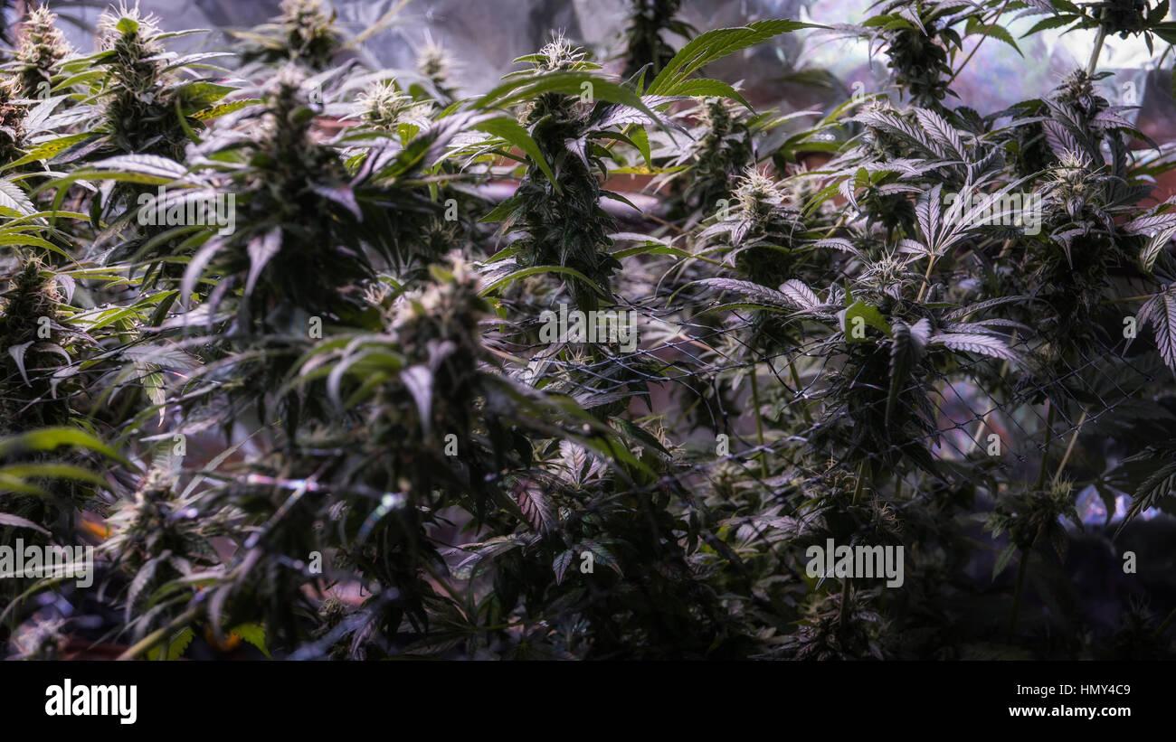 Culture de cannabis en intérieur. Les plants de marijuana dans une ...