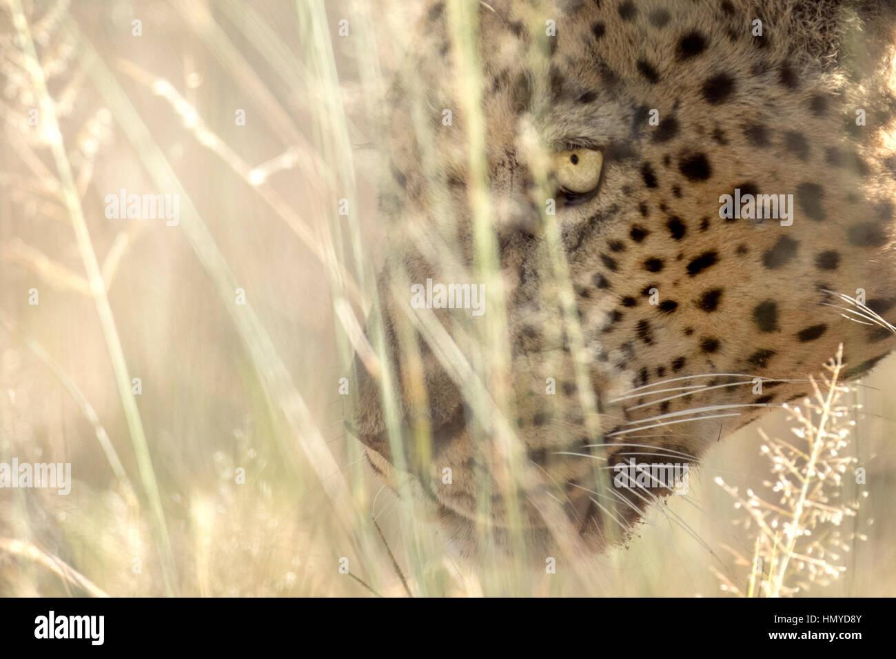 Leopard portrait Photo Stock