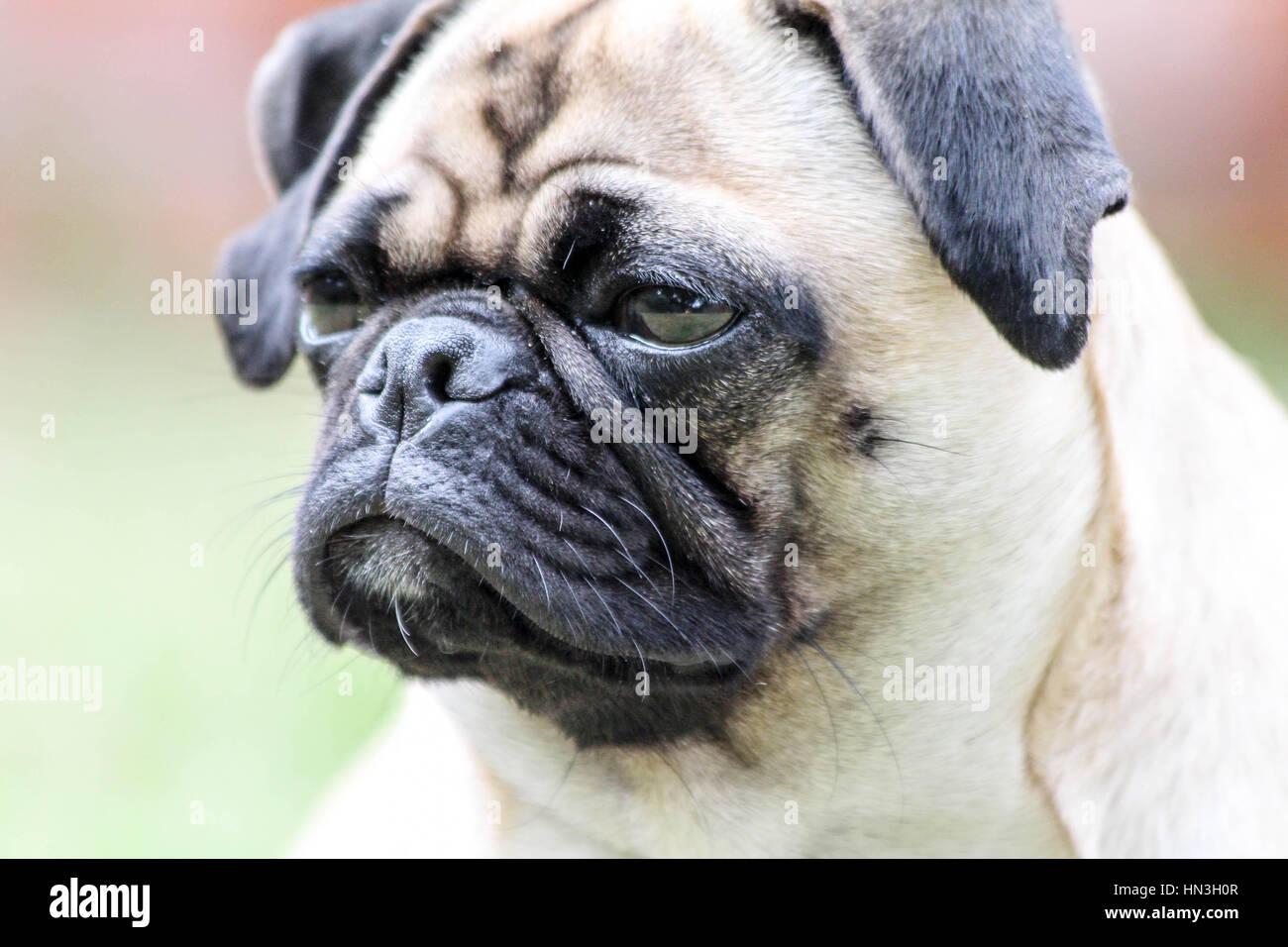 Super mignon chien pug donnant son meilleur sourire pour la caméra Photo Stock