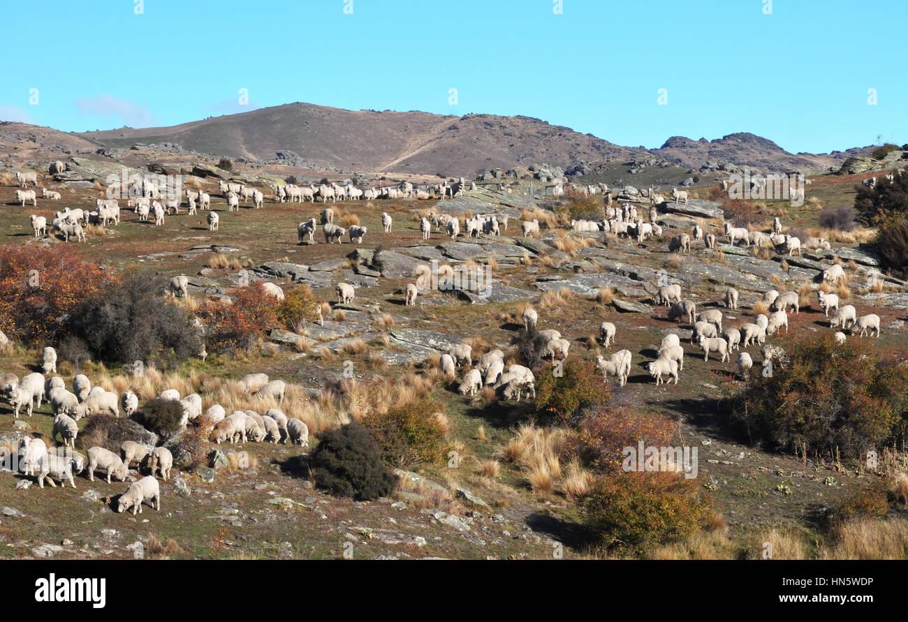 La gare de Bendigo (farm) est un important producteur de vin Pinot en Central Otago et produit certains des mondes plus beaux et les plus précieux de la fibre de laine Mérinos. B Banque D'Images