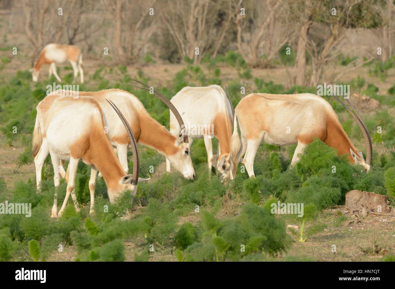 Scimitar-horned oryx Oryx dammah éteint à l'état sauvage de ces animaux détenus dans de vastes enclos naturels dans le Parc National de Souss Massa, Maroc Banque D'Images