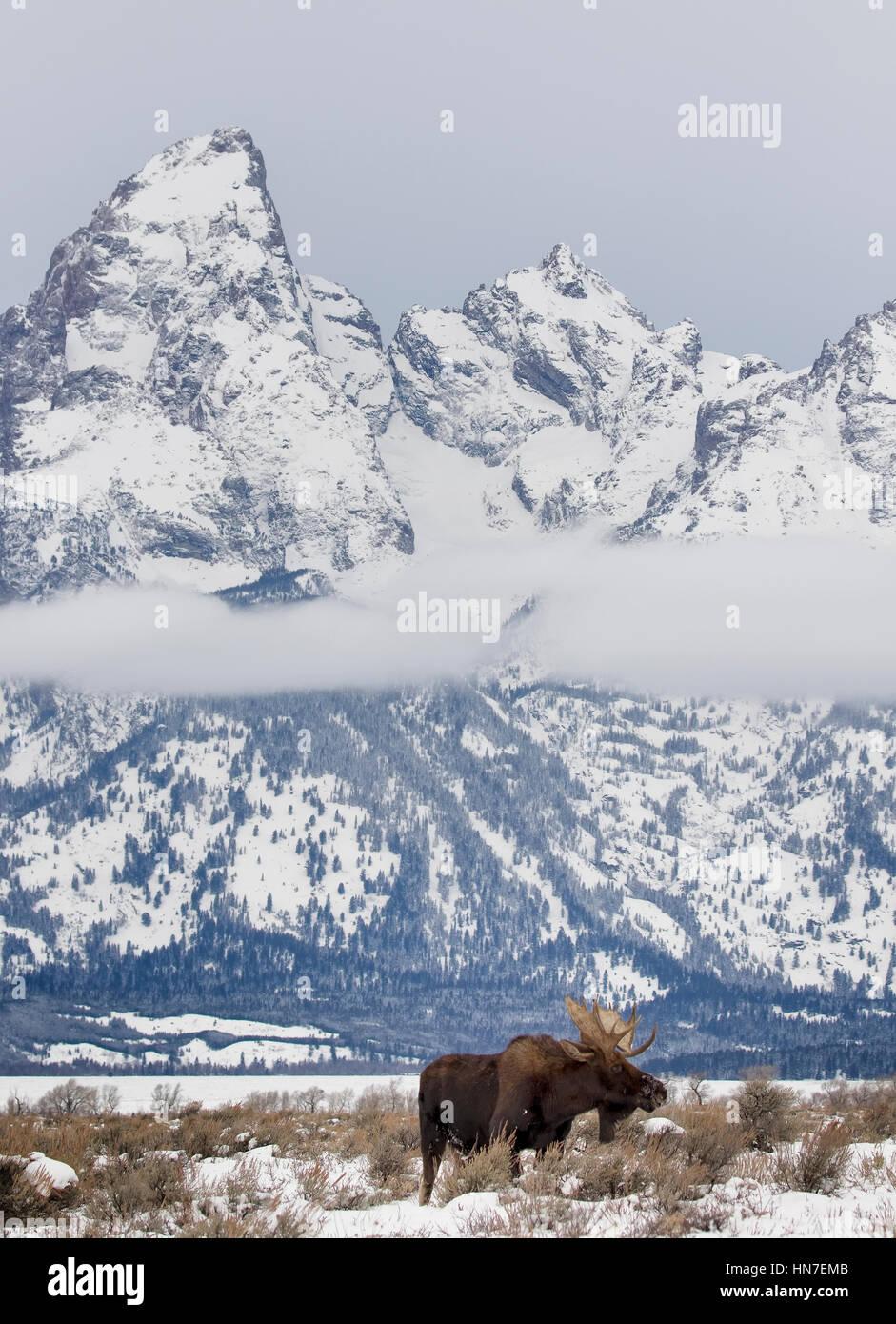 Bull Moose debout dans les prairies d'armoise avec Tetons Banque D'Images