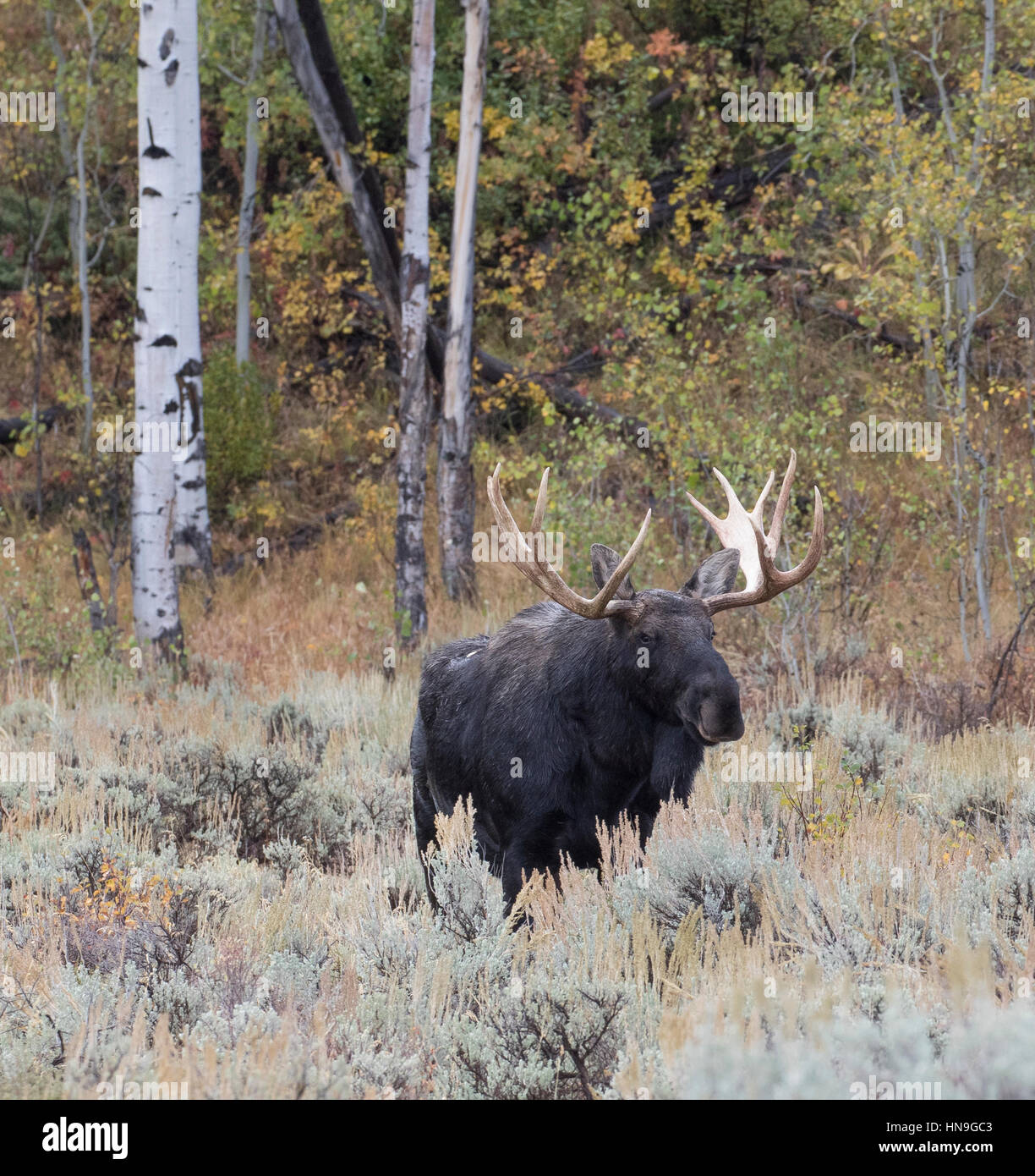 Bull Moose maturité parmi les trembles et les peupliers dans la prairie d'Armoise Banque D'Images