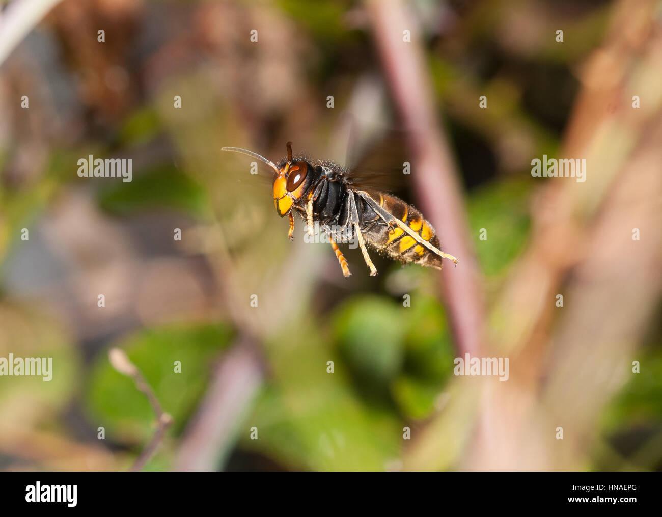Vespa velutina est colonizando mi zona (Norte de l'Espagne)rápidamente. Caza abejas muy eficazmente. Se Photo Stock