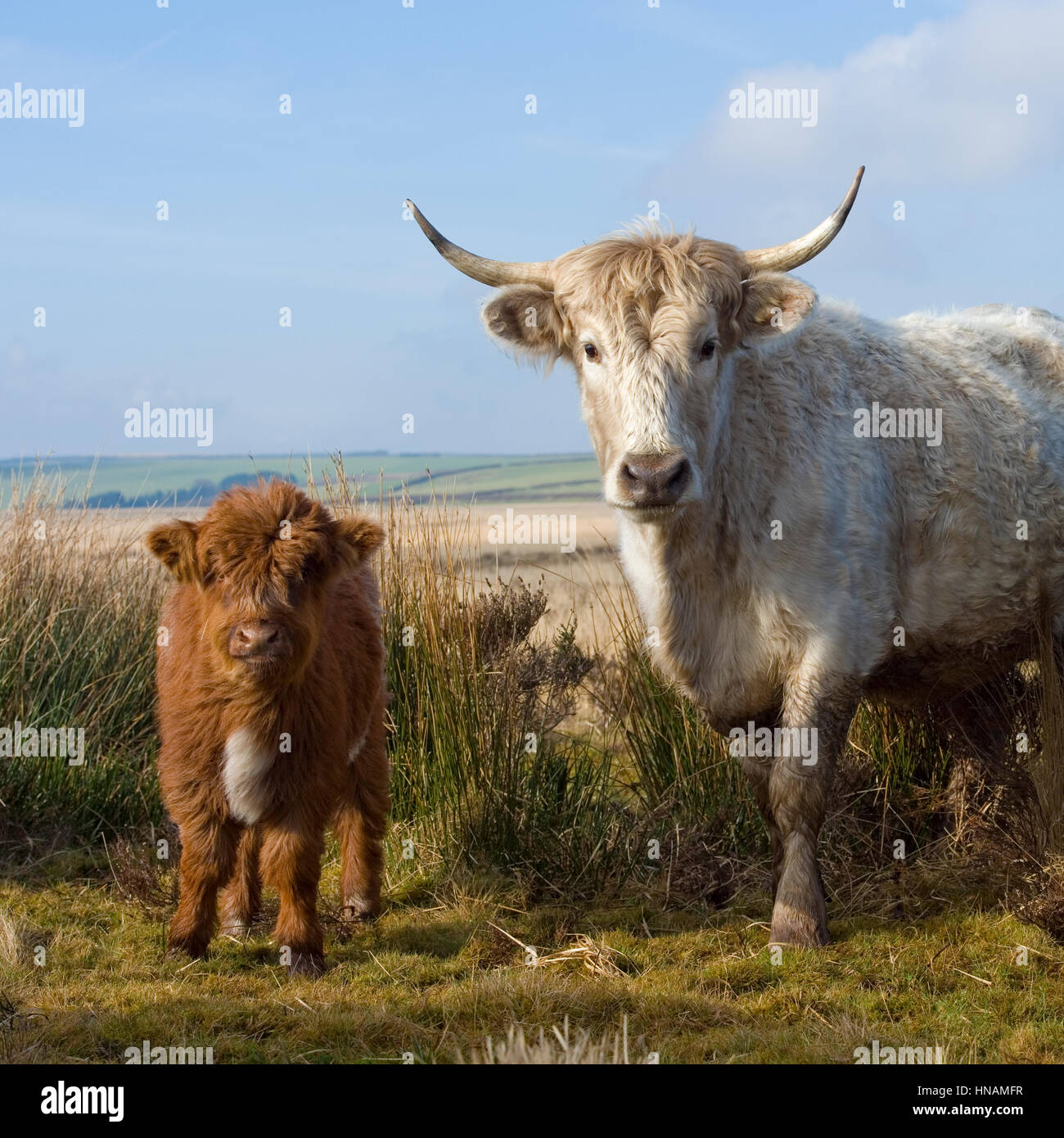 Veau et vache Photo Stock