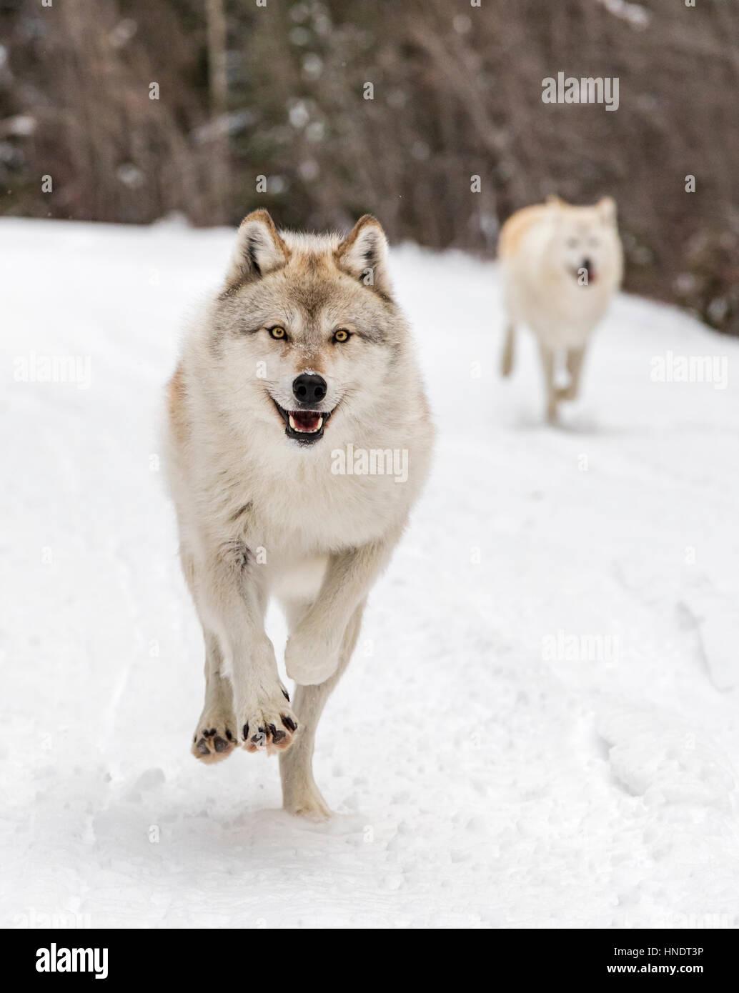 Deux loups gris; Canus lupus; British Columbia, Canada Banque D'Images