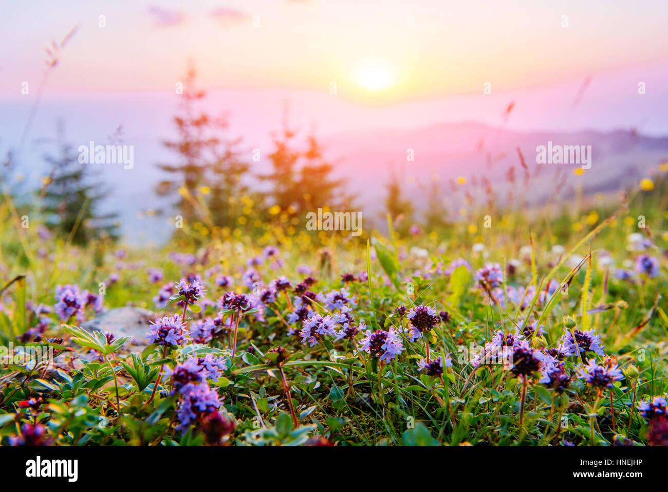Fleurs sauvages dans les montagnes au coucher du soleil Photo Stock