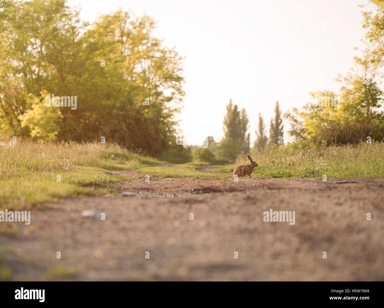 Lapin de garenne Photo Stock