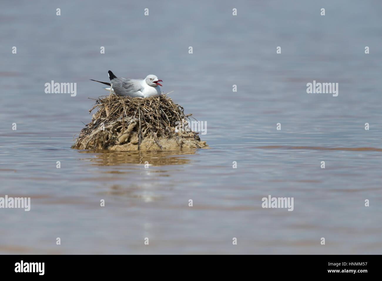Grey-hooded gull Chroicocephalus cirrocephalus, Ecuasal salines, Salinas, en Equateur, en avril. Photo Stock