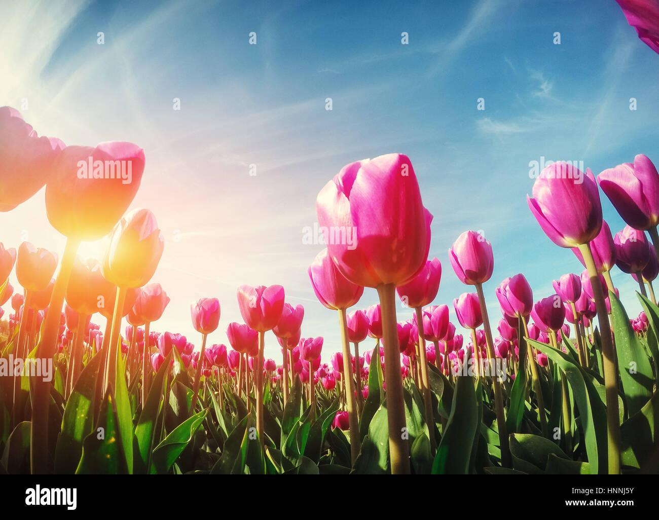 Lumière du soleil à travers champ de tulipes rouges. Beauty World. L'Europe Photo Stock