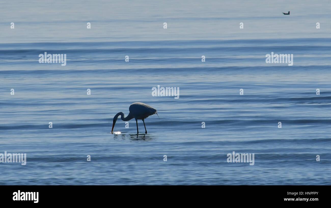 Nauplie, Grèce, le 15 février 2017. Un héron blanc prévoit de trouver de la nourriture dans Photo Stock